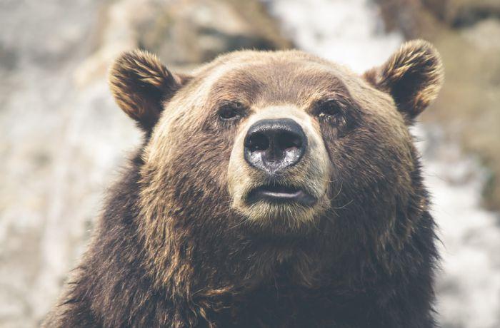 Если вы встретили медведя...