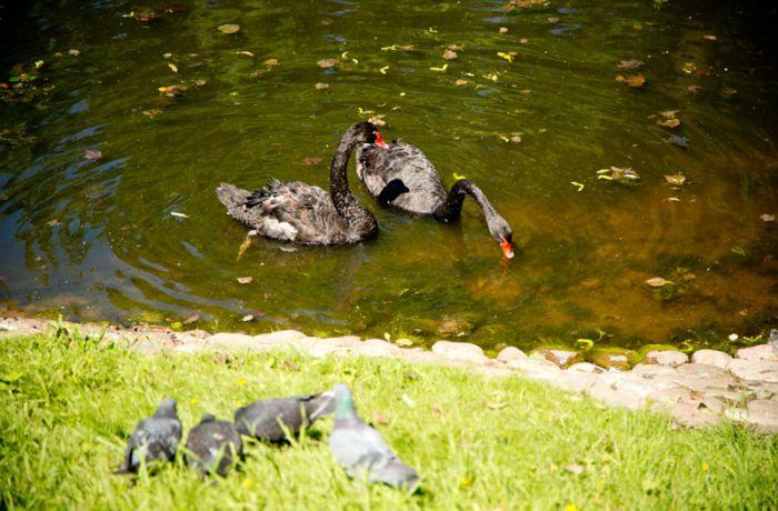 Чёрные лебеди в Михайловском саду
