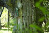 самые старые деревья Польши
