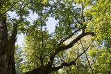 самые старые деревья Европы