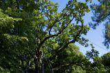 самые известные деревья Европы