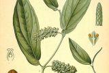 Перец кубеба. Ботаническая иллюстрация из книги «Köhler's Medizinal-Pflanzen», 1887